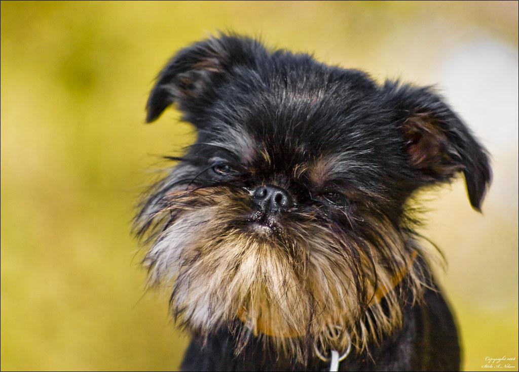 Собака Бельгийский грифон