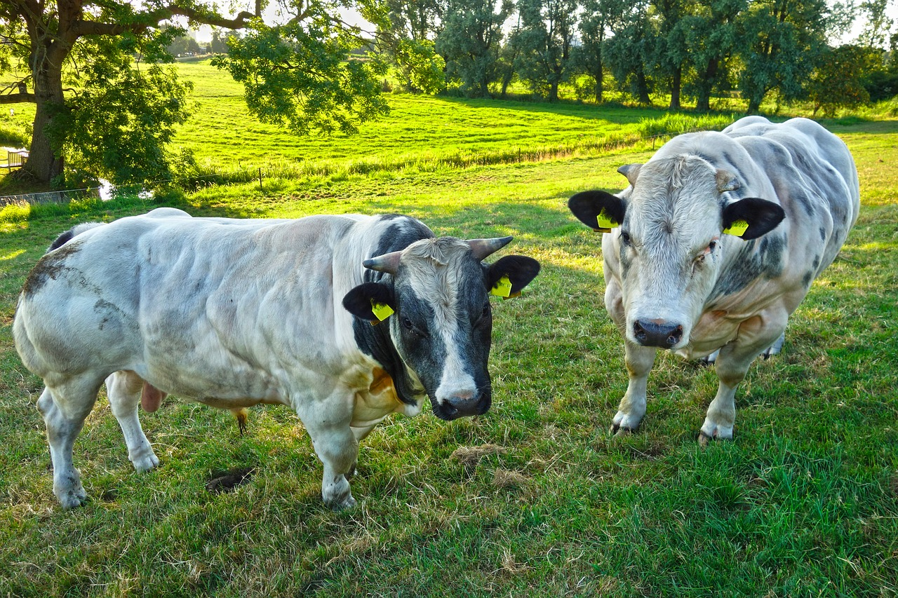 Бельгийская голубая корова породные характеристики